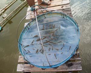 Fotos de chanthaburi en viaje por tailandia for Criadero de camaron en estanques circulares